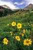 Nodding Sunflower