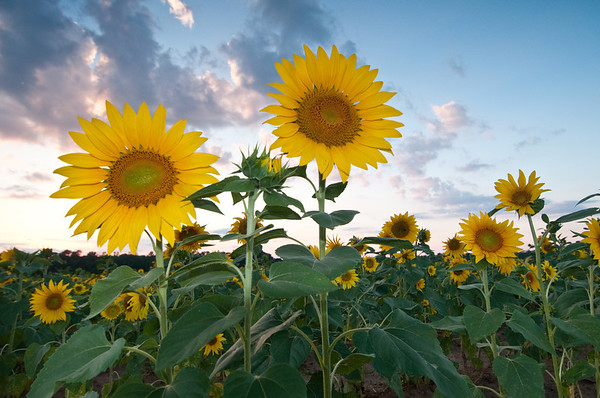 Southern Sunflowers