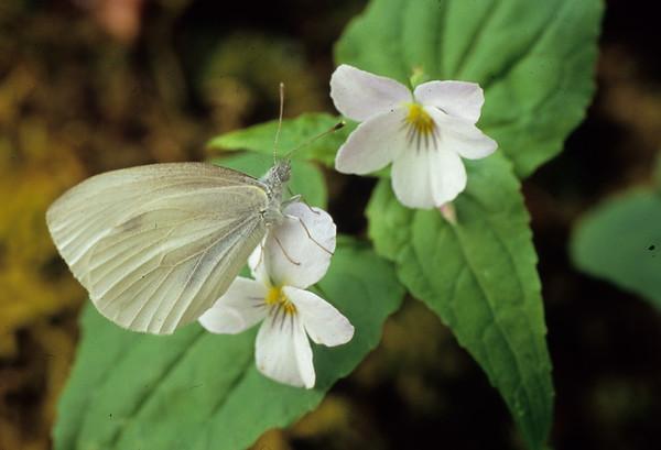 Butterfly on Violets