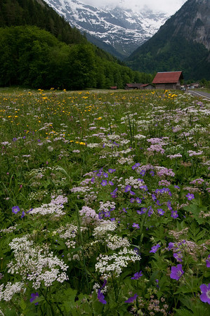 Wildflowers of Lauterbrunnen
