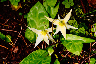 Fawn Lilly