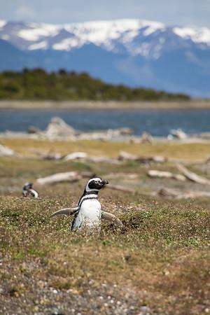 Penguin from Ushuaia