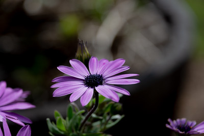 African daisy flower with blurred background