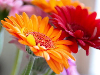 Orange and Red Gerbera Flowers