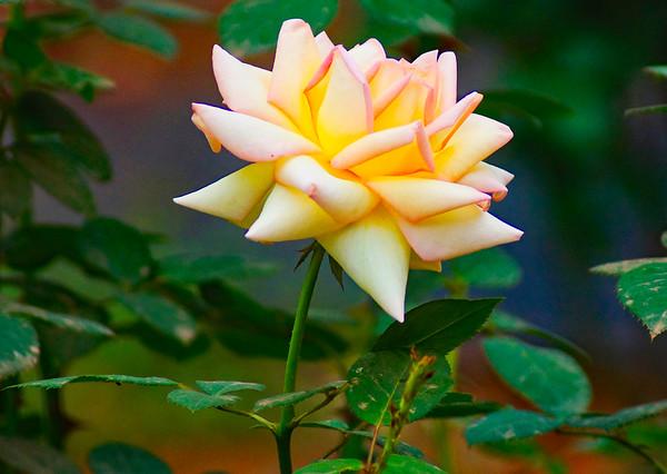Yellow-Pink Rose