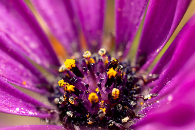 African Daisy with yellow pollen
