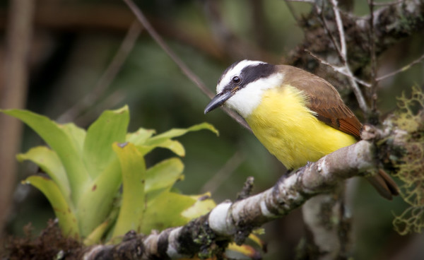 The great Kiskadee