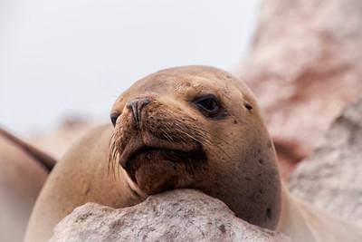Hello from a sea lion in Ballestas Islands, Peru