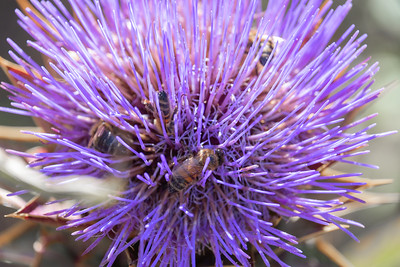 Giant Thistle covered in honey bees