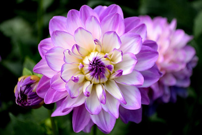 Dahlia Flower with Purple Tips