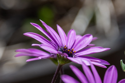 African daisy flower with opening stigma