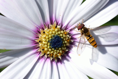 White African Daisy Marmalade Fly