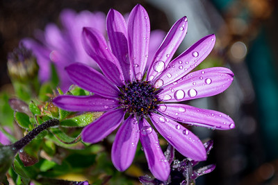 African Daisy with water droplets