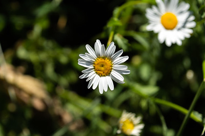 White daisy with yellow centre