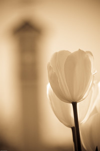 White Tulips and the clock tower