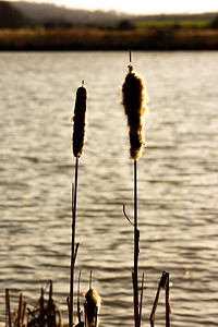 Cattails in the sun