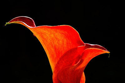Calla Lily High Contrast