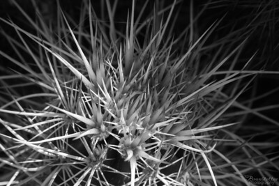 Cactus Spine Black and White