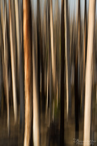 Lodgepole Abstract