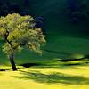 Colusa County Tree