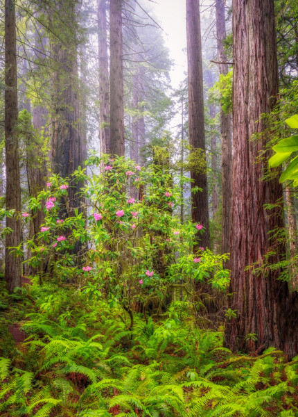 Foggy Rhododendron Forest Revisited