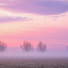 Bare Winter Trees in Fog, San Joaquin Valley