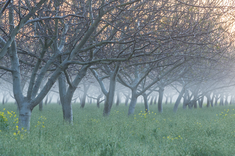 Orchard in Mist