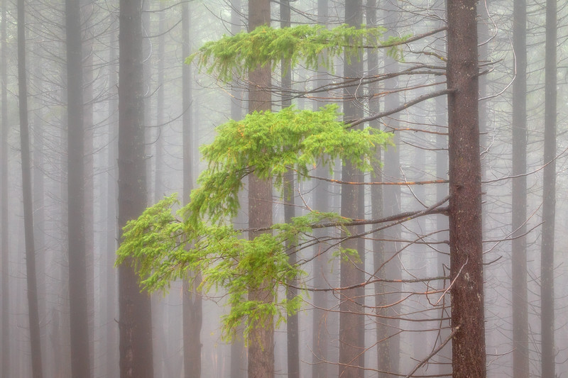 Misty Forest, Siskiyou County