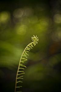 New fern
