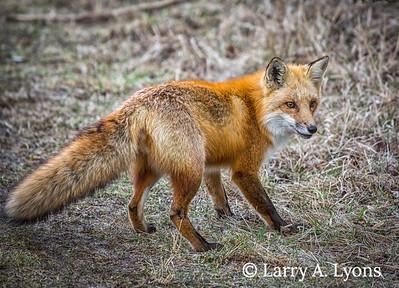 Red Fox Alert