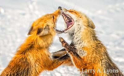 Foxy Vixens