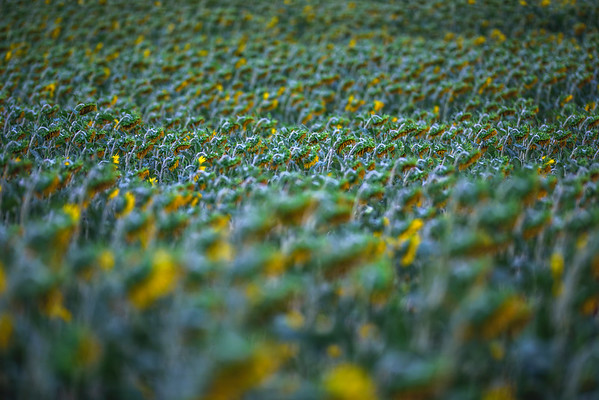Field of Sunflower at f2