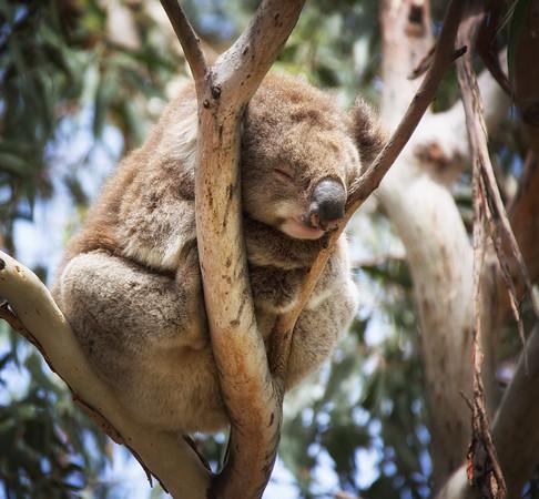 Koala Slumber