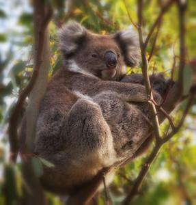 Koala Cradle