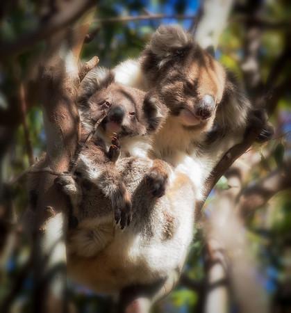 Koala Hammock