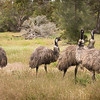 Emus on the Hunt