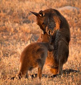 Maternal Roo