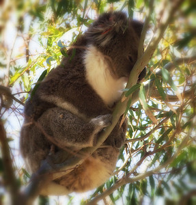 Koala Sentinel