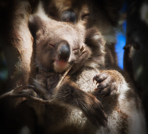 Maternal Koala Cradle
