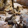 Seal Harem Downunder