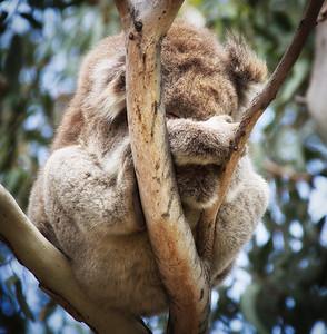 Shy Koala