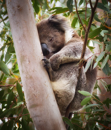 Eucalyptus Hideout II