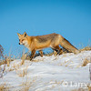 Red Fox On Snow-Covered Dunes
