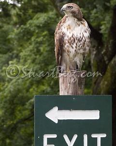 Mohonk Hawk