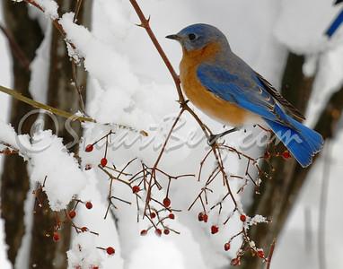 Snow Bluebird 1