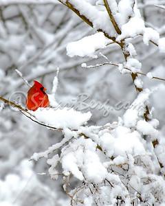 Snow Cardinal 1