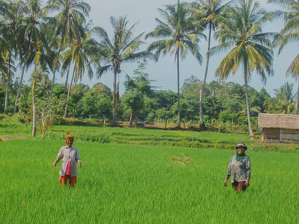 Achenese women working in the rice fields, Aceh Besar