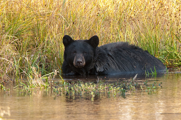Black Bear Bathing