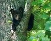 Black Bear Cub hanging in tree