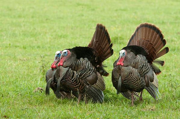 Wild Turkey Triplets
